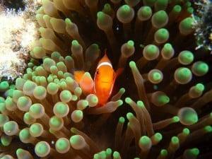 Anenome Fish - J. Thorsborne