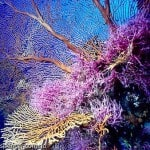 Coral Sea_Lucy_Trippet_sea_fan