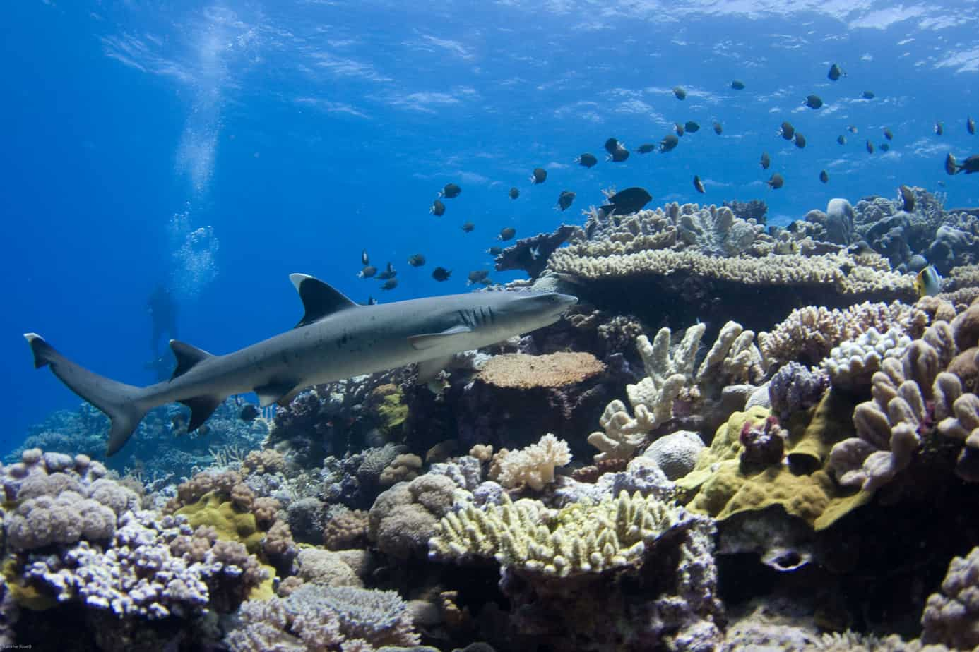Sharks Of The Coral Sea Cafnec