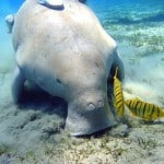 Dugong feeding on seagrass. Photo: Julien Willem