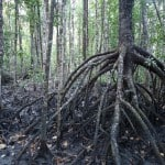 Mangroves 2
