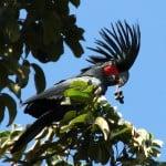 Palm Cockatoo, Cape York Photo: Andrew Picone