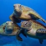 Reef tutles