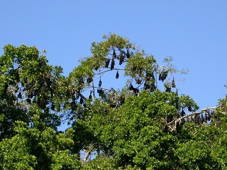 Black flying fox colony, Charters Towers Photo: Jon Luly