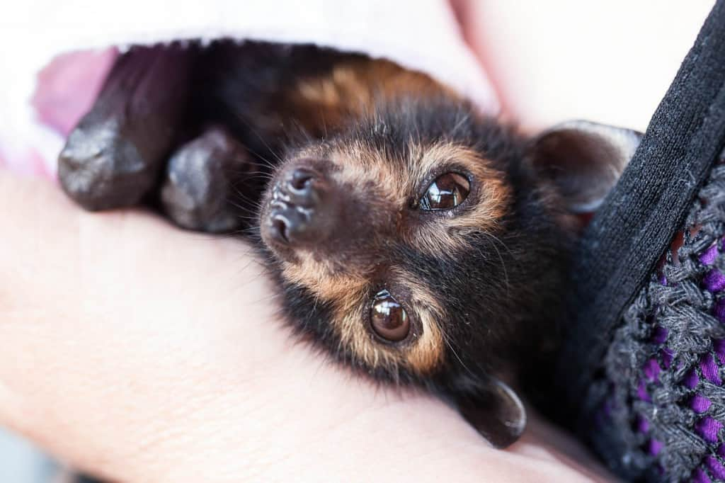 Baby spectacled flying fox Photo:Dave Pinson