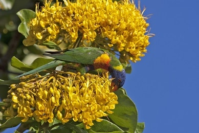 Golden bouquet tree in flower Photo: Martin Cohen, Wild about Australia
