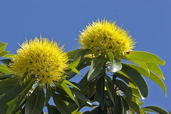 Golden Penda in flower Photo: Martin Cohen, Wild about Australia
