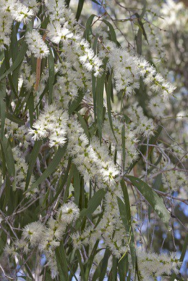 Weeping paperbark in flower Photo: Martin Cohen, Wild about Australia