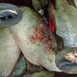 Diseased Barramundi after dredging in Gladstone Harbour, insets dead dugong and turtle from after Gladstone dredging. Source ABC, credits, Gladstone fish market, ABC TV, Tony Falzon.