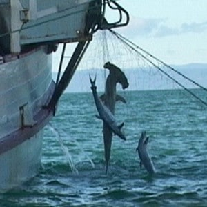 Sharks caught as bycatch in fishing nets targeting Grey Mackerel spawning aggregations. Photo (c) Dave Cook