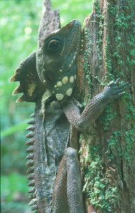 Boyd's Forest Dragon