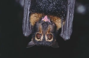 Spectacled flying fox Photograph: Martin Cohen, Wild About Australia