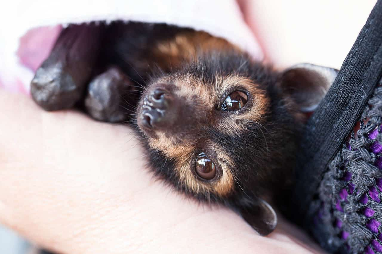 Take action to defend Cairns flying-foxes