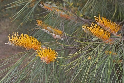 Fern-leafed Grevillea in flower Photo: Martin Cohen, Wild about Australia