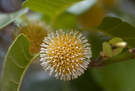 Leichhardt tree in flower Photo: Martin Cohen, Wild about Australia