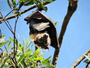 spectacled flying-fox 2, David Westcott