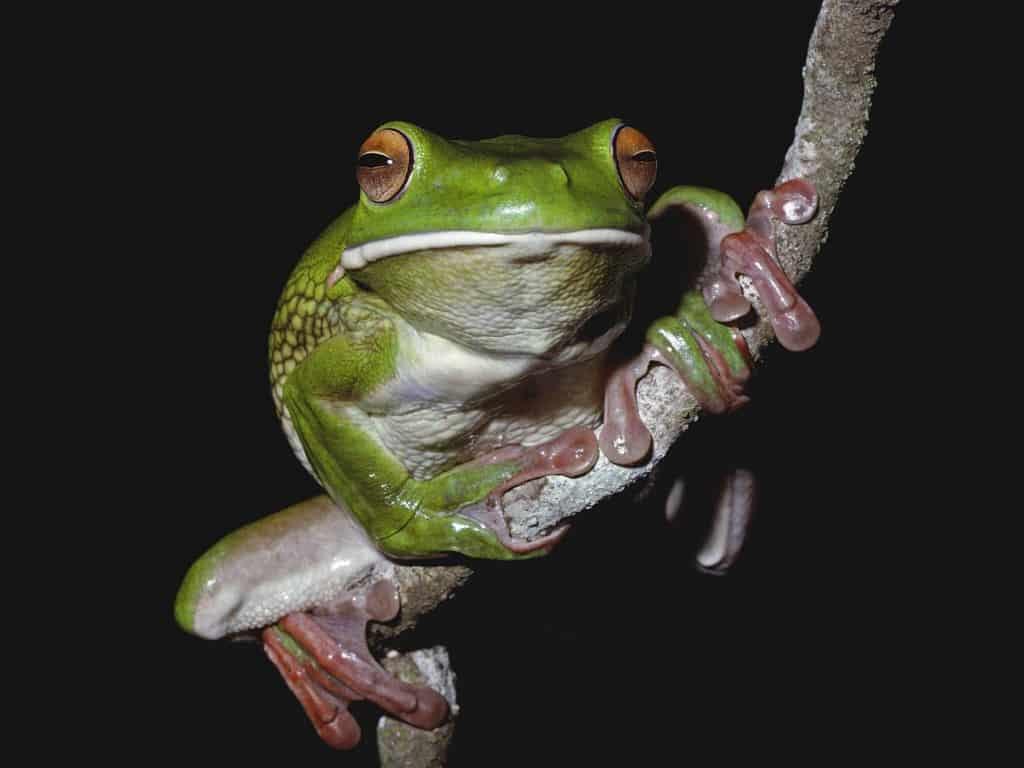 White-lipped treefrog. Photo by Martin Cohen, Wild about Australia
