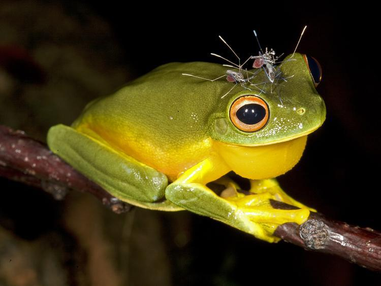 Red eyed tree frog tongue