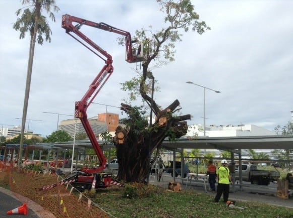 Cairns destroying Heritage trees in a bid to disperse the Cairns City flying fox colony